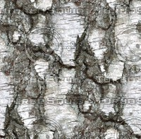 Birch tree bark 3