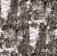 Birch tree bark 1