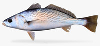 striped corvina 3d ma