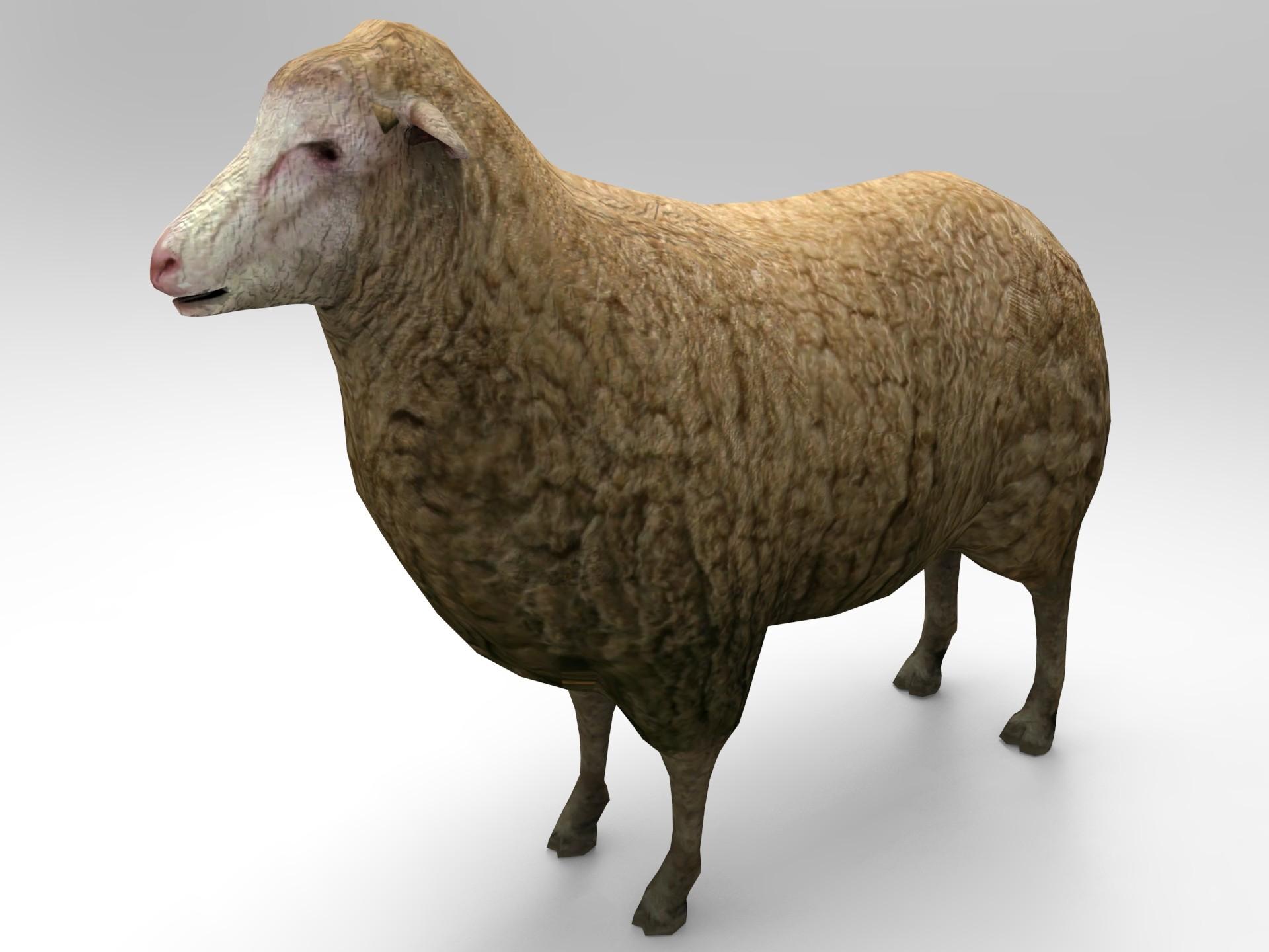 sheep.563.jpg
