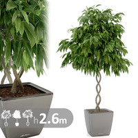 max realistic ficus tree