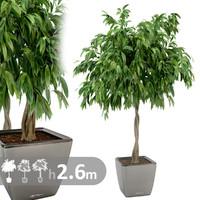 realistic ficus tree fbx