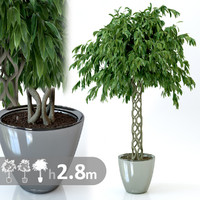 realistic ficus tree 3d model