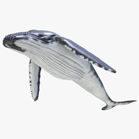 humpback whale pose 3 3d c4d
