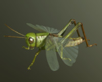Grasshopper (Chorthippus Parallelus)