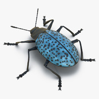 gibbifer californicus beetle 2 x