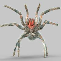 maya opelma minax spider