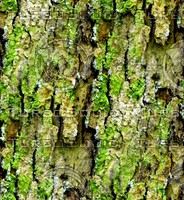Mossy tree bark 33