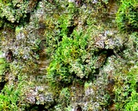 Mossy tree bark 38