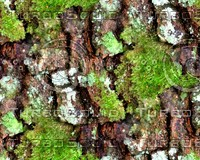 Mossy tree bark 16