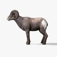 3d model bighorn sheep