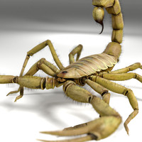 scorpion hadrurus arizonensis 3d model