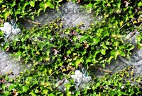 Stone wall with vine 1