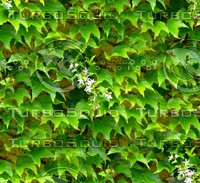 Stone wall with vine 18