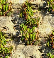 Stone wall with vine 7