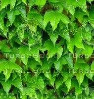Stone wall with vine 14
