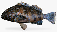 fbx giant hawkfish
