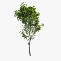 hornbeam tree - 3d model