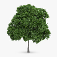 common whitebeam 12m 3d model