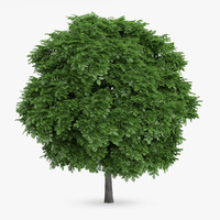 3d model common whitebeam 6 5m