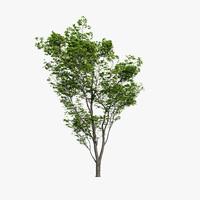 hornbeam tree 3d max