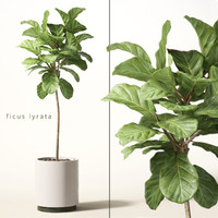 3d model of ficus lyrata