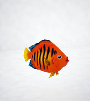 angel flame fish 3d obj