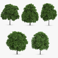 common whitebeam trees 5 3d model