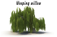 3d realistic weeping willow model