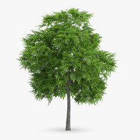 rowan tree 6m max