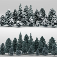 max 20 picea pungens trees
