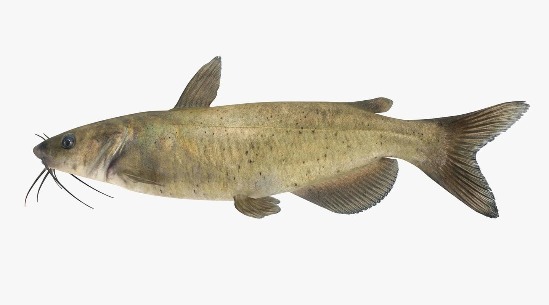 ChannelCatfish_R0001s.jpg