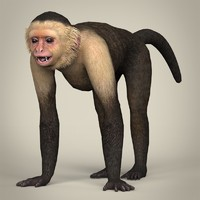 Low Poly Realistic Capuchin Monkey