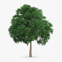 3d swedish whitebeam tree 10