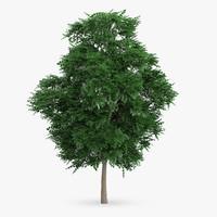 swedish whitebeam tree 8 max