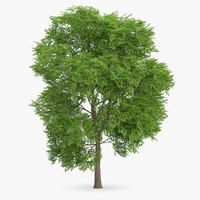 3d wild service tree 9 model