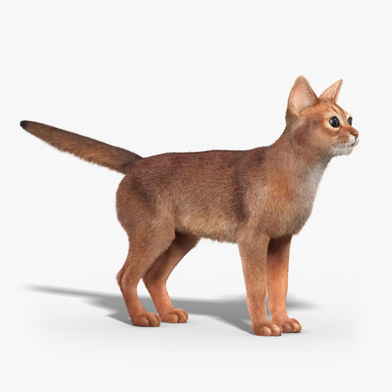 abyssinian_cat_FUR_01.jpg