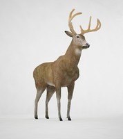 3d model of deer buck