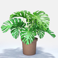 monstera cheese plant max