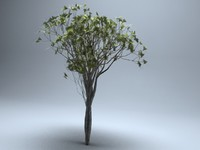 3d model deciduous ginnala tree