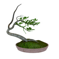 bonsai tree max