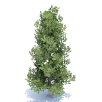 white bark pine tree 3d 3ds