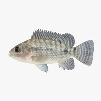 3d model tilapia cichlid fish