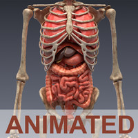 Human anatomy: animated skeleton and internal organs