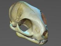 3d realistic cat skull model