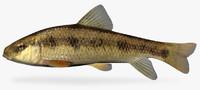 3d erimyzon oblongus creek chubsucker model
