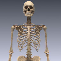 realistic human skeleton rigged 3d 3ds