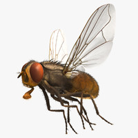 3d musca domestica house fly