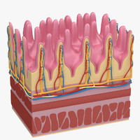 3d small intestine anatomy model