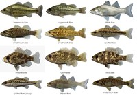 Bass Fish Collection